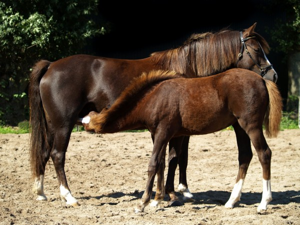 cavalo marrom cavalos garanhao potro sugar