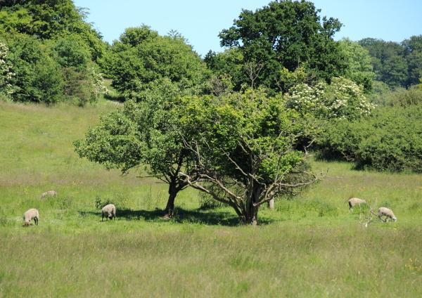 campo dinamarca ovelha paisagem natureza