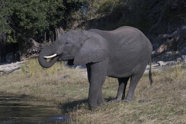 botsuana Africa elefante africano bebendo do