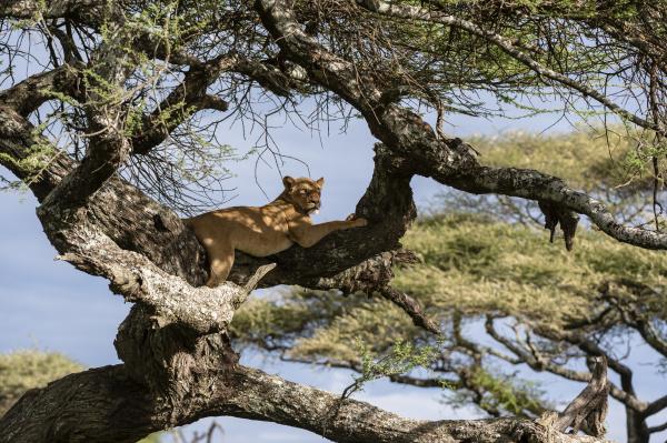 leoa panthera leo na arvore ndutu