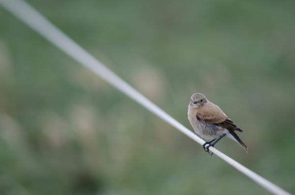 pássaro, empoleirado, na, corda, no, otway - 28257591