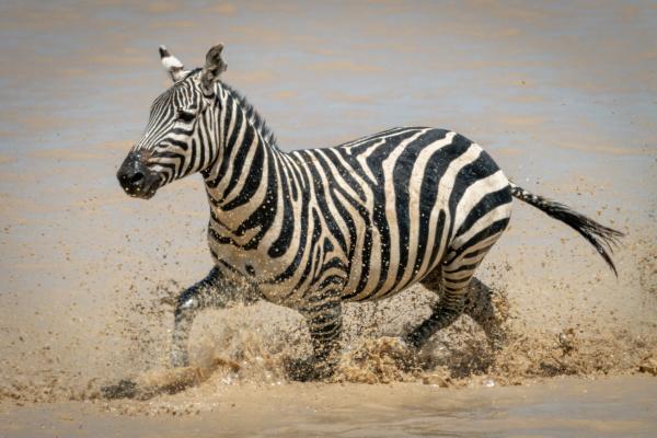 zebra, das, planícies, espirra, através, de - 28257607