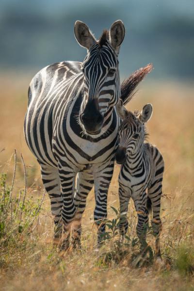 zebra, das, planícies, fica, virada, para - 28257659