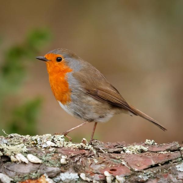 pássaro, bonito, com, uma, bela, plumagem - 29783850