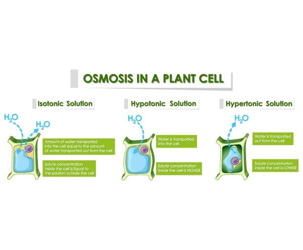 diagrama mostrando osmose em celula vegetal