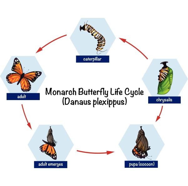 ciclo de vida das borboletas monarca