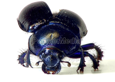 ataques de escaravelho