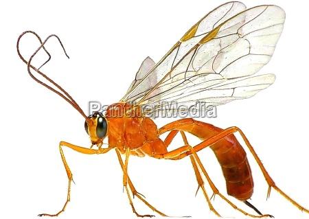 vespa foice