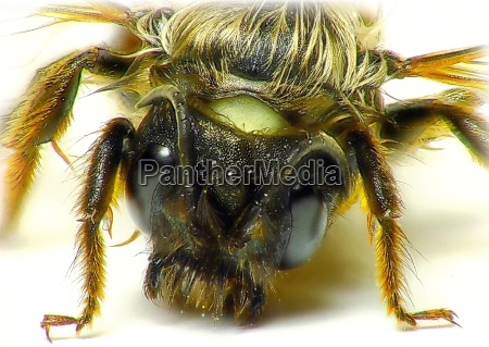close up detalhe inseto marrom bumblebee