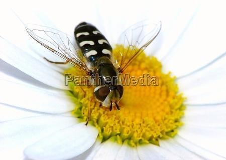 hoverfly em uma margarida