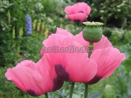 jardim flores papoula planta cama jardins