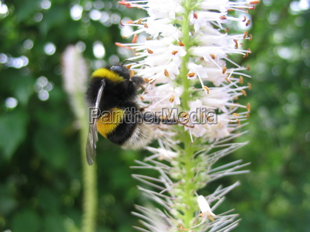 close up inseto bumblebee nectar polen