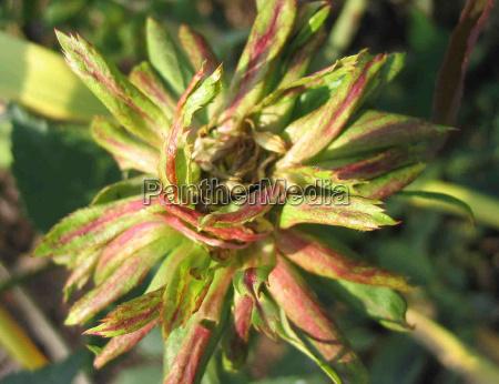 flor rosa planta verde rareza viridiflora