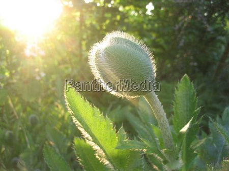 luz gegenlicht papoula broto morgenlicht arbusto