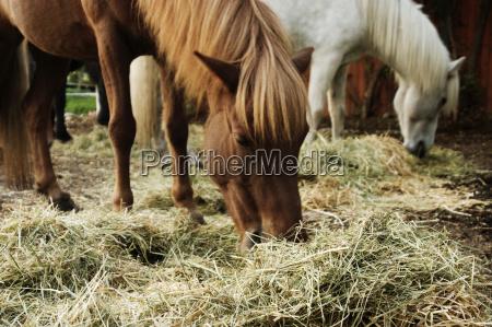 os cavalos islandeses comem o feno