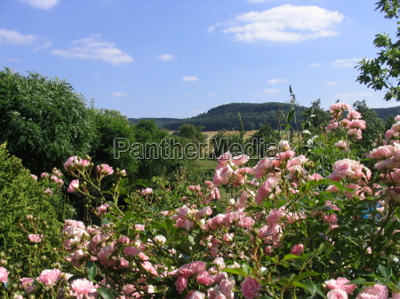 jardin verano veraniego distante rosas ver