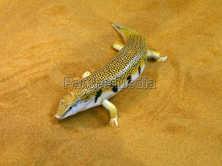 scincus ou peixe areia 2
