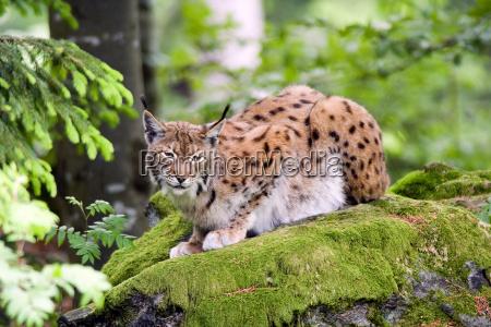 selvagem gato pele predador gato selvagem