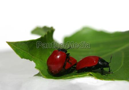 verde besouro reproducao vermelho crysomela populi