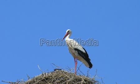 azul caucasico pico cigueenya nido plumaje