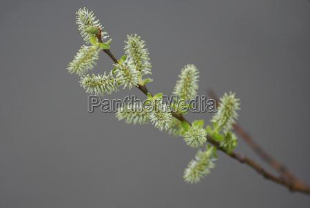 flor primavera delicado cinza salgueiro