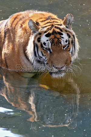 animal gato verao tigre jardim zoologico