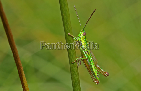 inseto insetos verde gafanhoto czechia natureza