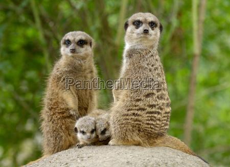 familia de meerkats
