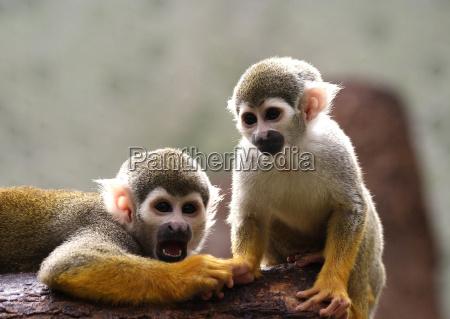 os macacos deixam isto