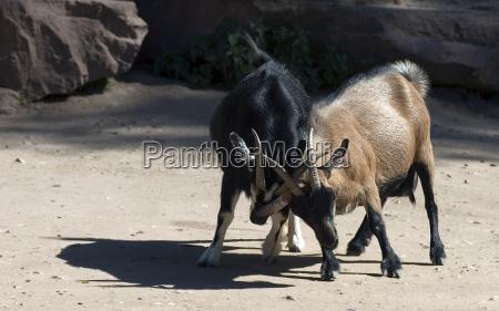 luta combate marrom negro cabras caucasiano