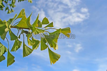 azul folha verde ceu gingko ginko