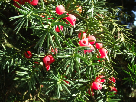 fruit of yew