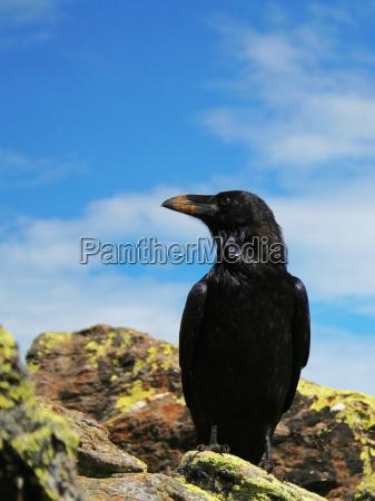 raven no 2