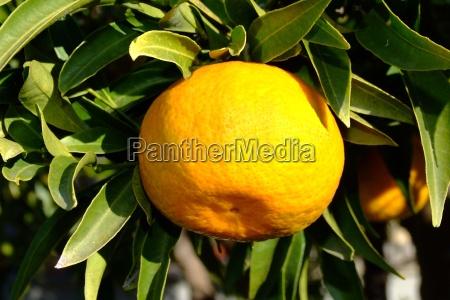 laranja vitamina arvore verde folhas fruta