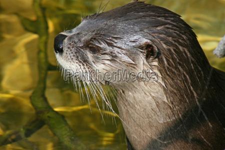 animais influencias molhado lontra natacao nadar