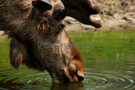 aelg moose