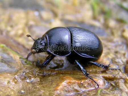 common dung beetles