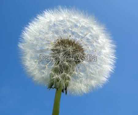 jardim verao caucasiano suave dandelion espermatozoide