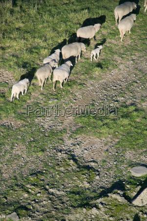 migracao de ovelhas0006