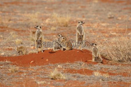 familia meerkats