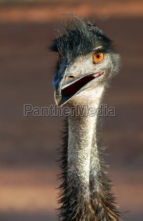 australia animais selvagens flightless passaros executando