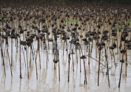 planta campo de girassois withered mudanca