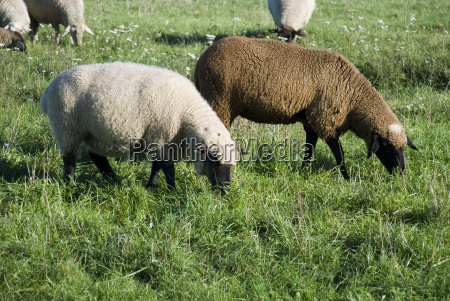 animal animais pele ovelha la prado