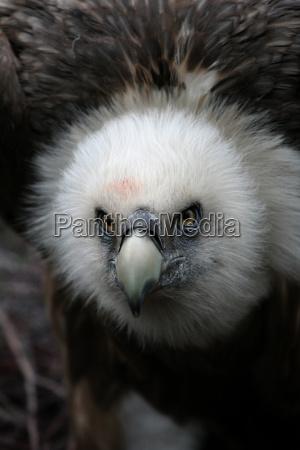 norte da africa abutre carnica