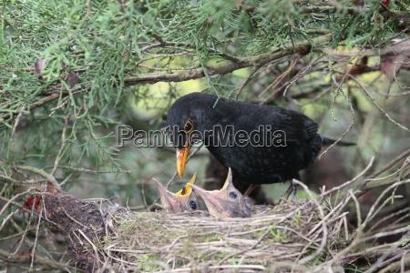 blackbird alimenta seus pequeninos
