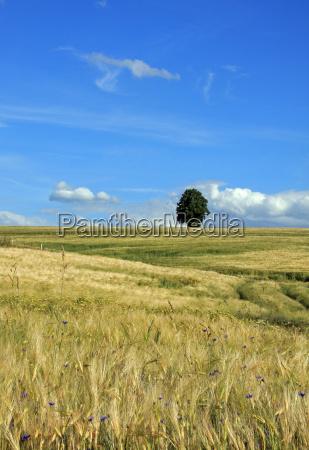 arvore campo cevada tilia ceu paisagem