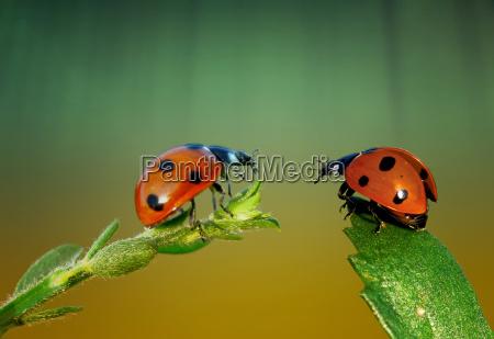 ladybugs na conversacao