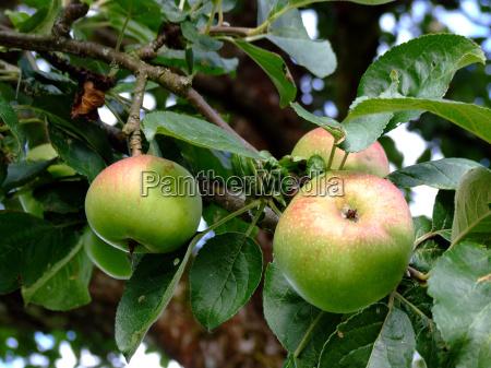 vitamina vitaminas agricultura macieira fruta macas