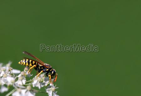 inseto negro vespa amarelo