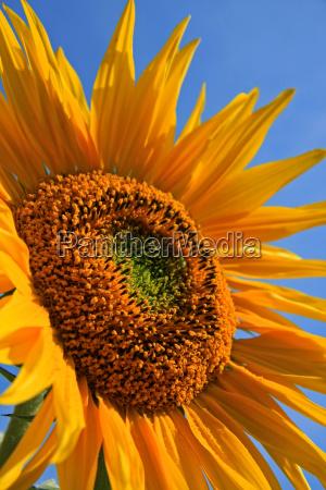 flor planta verao girassol temporada